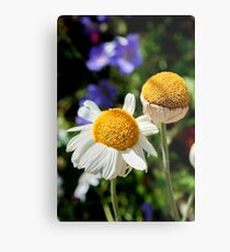 Daisies in the afternoon sun Metal Print