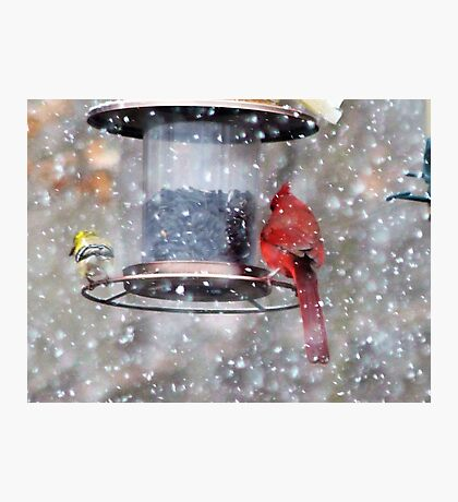 Goldfinch and Cardinal at Feeder Photographic Print