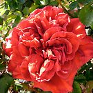 Red Rose by Shulie1