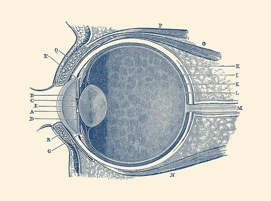 Pósters «Diagrama de anatomía del ojo» de VAposters | Redbubble