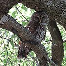 Find me if you can - - - A Mother Barred Owl guarding her nest... by enyaw