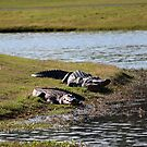 Big And Huge Alligators by Cynthia48