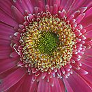 Daisy Up Close by Mike Solomonson