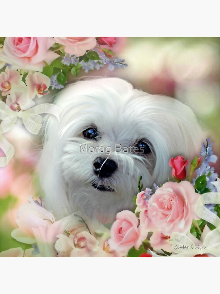 Snowdrop the Maltese - The Face that Melts my Heart von MoragBates
