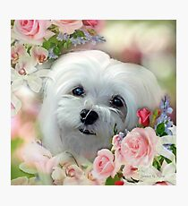 Snowdrop the Maltese - The Face that Melts my Heart Photographic Print