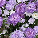 Everlastings ~ Purple Strawflowers by SummerJade