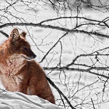Dhole - Asiatic wild dog by SunDwn