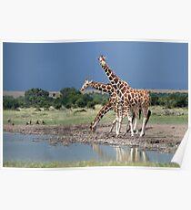 Reticulated Giraffe, Maasai Mara, Kenya Poster