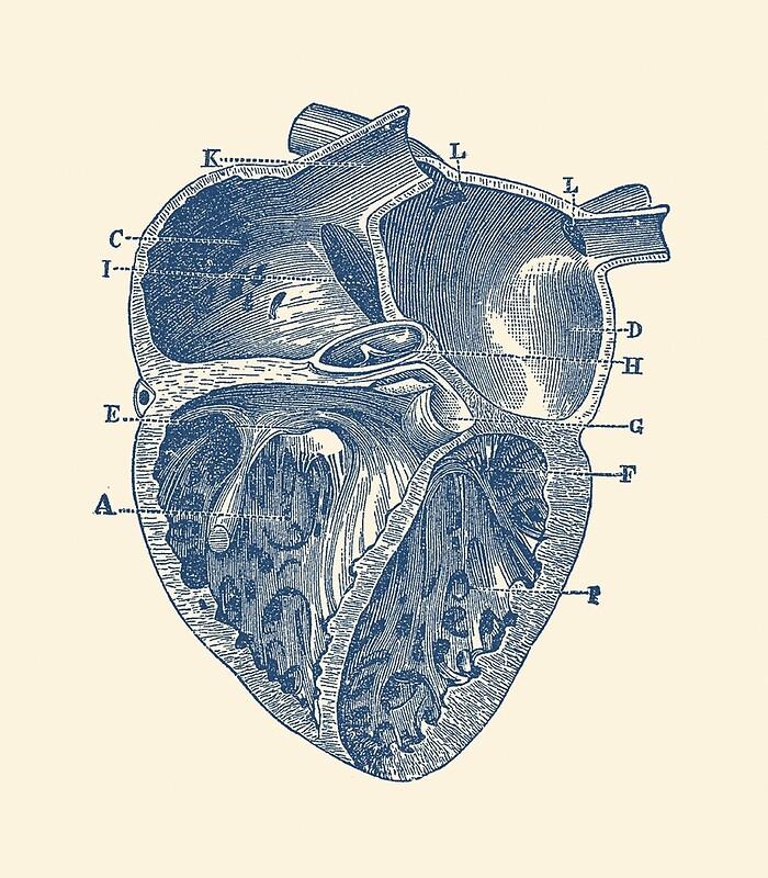 Moderno Etiqueta Del Diagrama De La Anatomía Del Corazón Viñeta ...