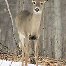 Whitetail Deer by Megan Noble