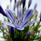 Blue Agaphantus by Evita