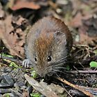 Bank Vole by dilouise