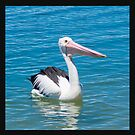 Pelican by picketty