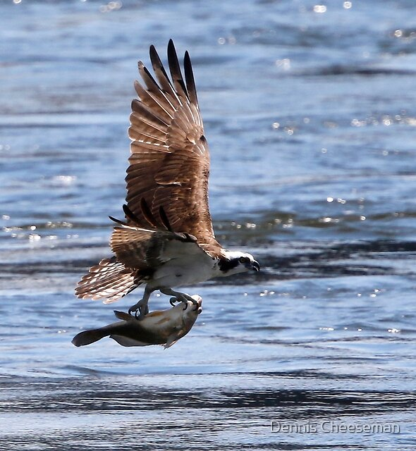 osprey with big fish  by Dennis Cheeseman