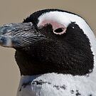 African penguin portrait by David Clarke