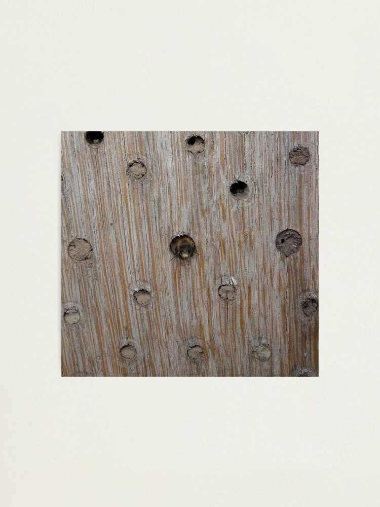 Alternate view of Emerging Mason Bee Photographic Print