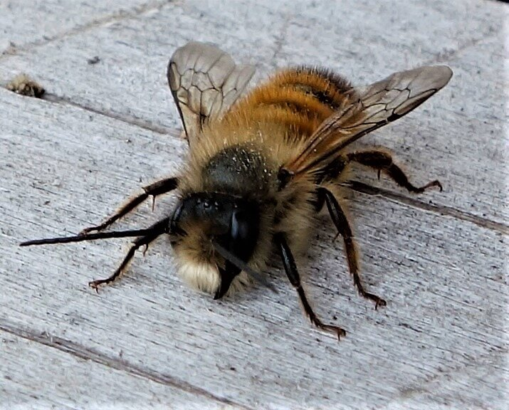Fluffy Bee by gardenpictures