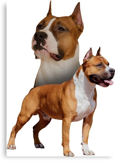 american staffordshire terrier amstaff canvas prints by