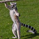 Trainee Ballerina (Ring-Tailed Lemur) by Krys Bailey