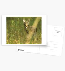 Coyote Pup Postcards