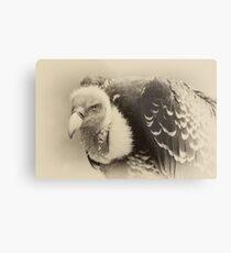 Rueppell's Vulture: After a shower Metal Print