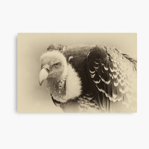 Rueppell's Vulture: After a shower Canvas Print