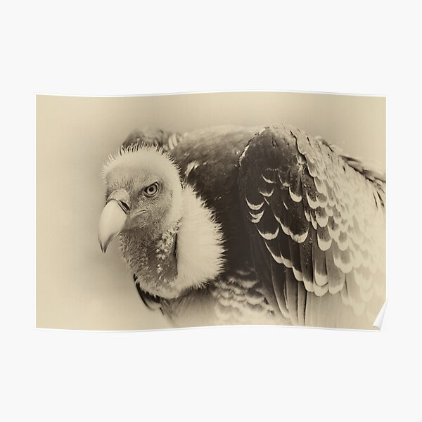 Rueppell's Vulture: After a shower Poster