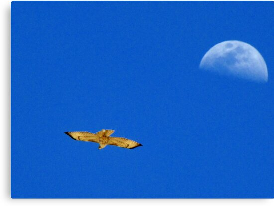Red-tailed Hawk ~ Flight of the moon by Kimberly Chadwick