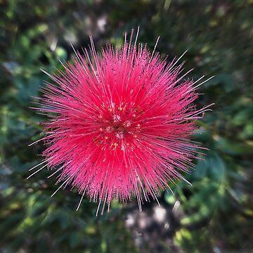 Calliandra - Red Powderpuff Flower - 7030 x 5857 px, 300 dpi by BrunoBeach