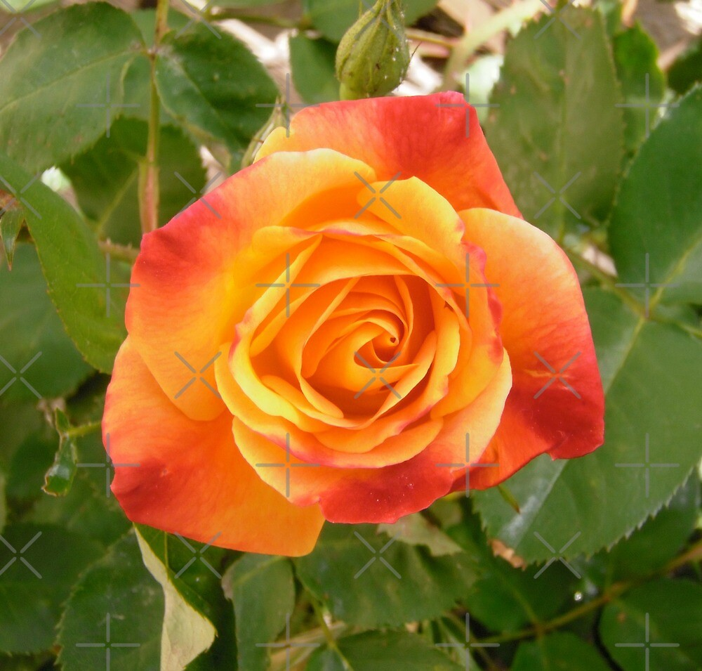 Orange and red rose by Shulie1