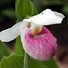 Showy Lady's Slipper by Teresa Zieba