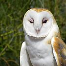 Barn Owl ~ Hey baby....... by Kimberly Chadwick