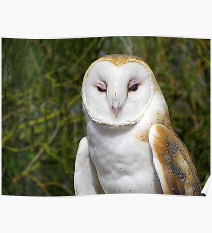 Barn Owl ~ Hey baby....... Poster