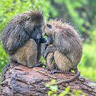 Tanzania. Lake Manyara National Park. Baboon Family in the Rain. by vadim19