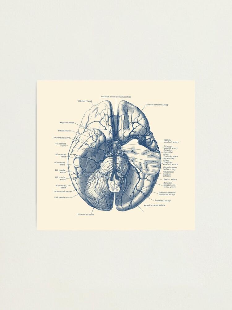 Alternate view of Human Brain Diagram Photographic Print