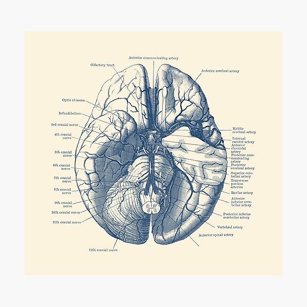 Human Brain Diagram Photographic Print