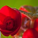 Bright red Begonia. by Steve plowman