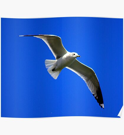 Common Gull #2 Poster