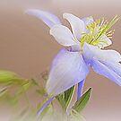 Soft And Lovely Columbine Flower by kkphoto1