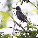 European Starling by Kimberly Palmer