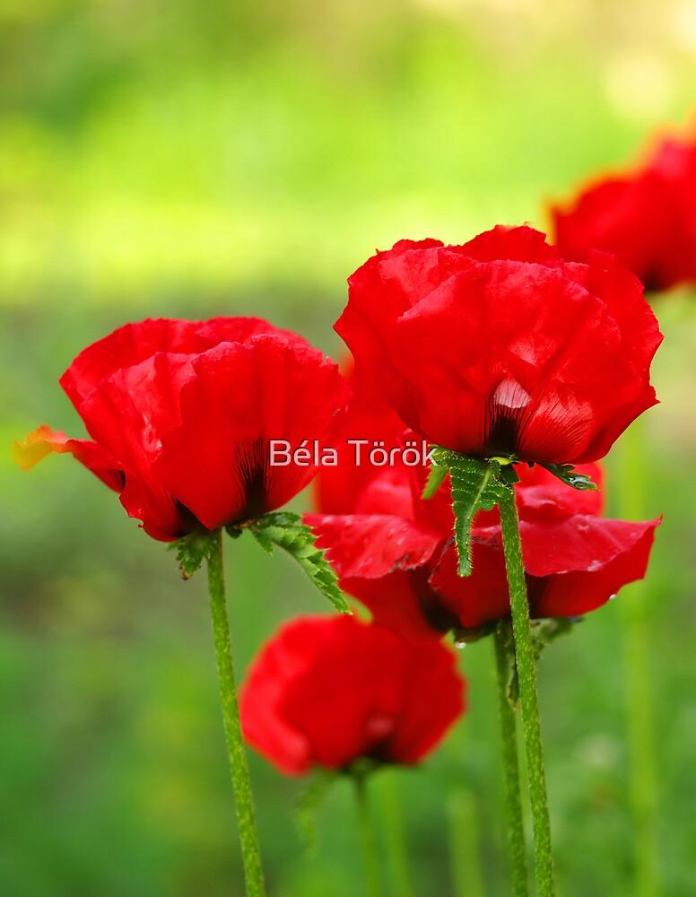 Red Poppies by Béla Török