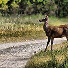 Deer Xing by Kimberly Palmer