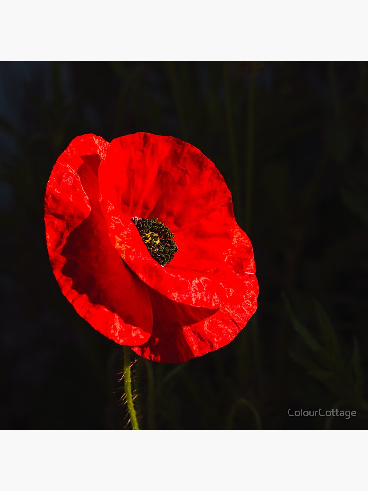 Red poppy 1 by ColourCottage