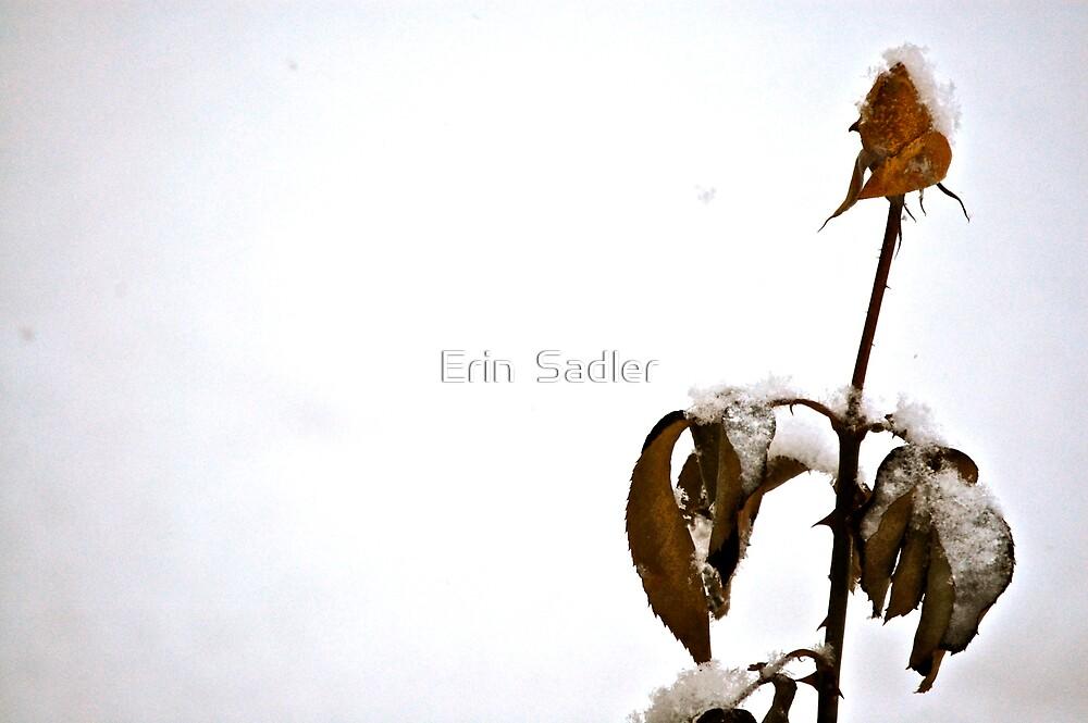 Winter Rose by Erin  Sadler