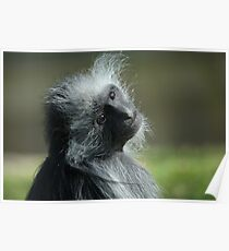 King Colubus Monkey Poster