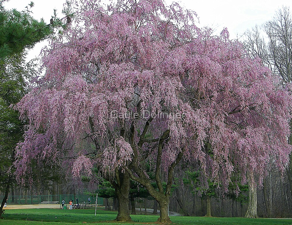 Quot The Weeping Cherry Tree Quot By Gayle Dolinger Redbubble