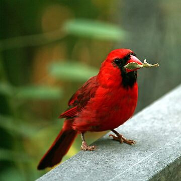 Male Cardinal  by glink