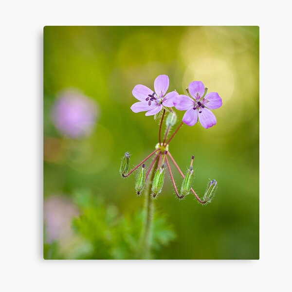 "Purple wildflowers ""Erodium malacoides"" Canvas Print"