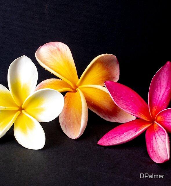 Three frangipani's by DPalmer