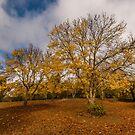 Autumnal Ash by SusanAdey